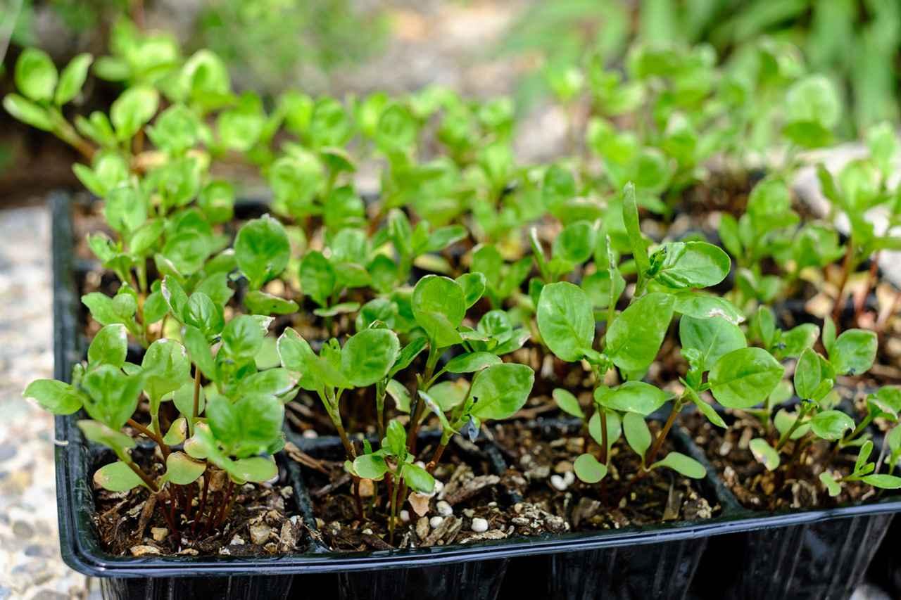画像: 藍の若芽。少しずつ藍栽培もスタート。