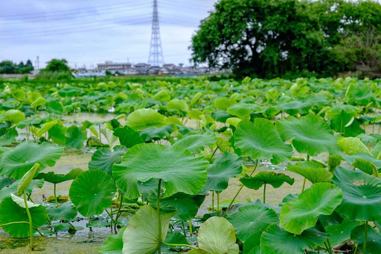 画像: 鳴門市はれんこんの一大産地。市内にはれんこん畑が広がります。