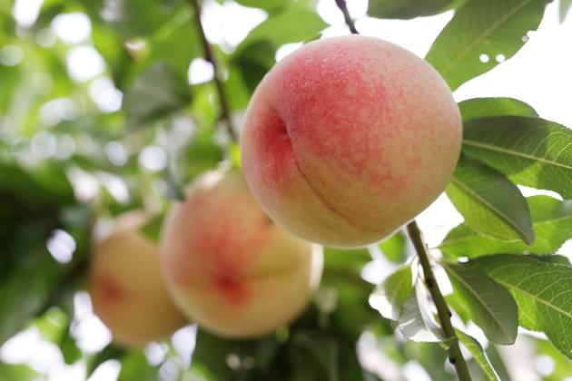 画像2: 「晴れの国 おかやま」育ちの農産物をご紹介!