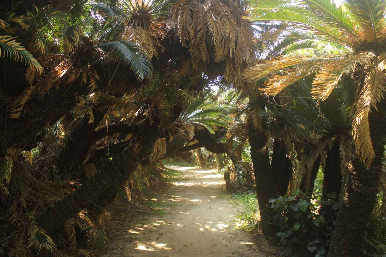 画像: 【自然】「金見崎ソテツトンネル」で南国感を楽しむ
