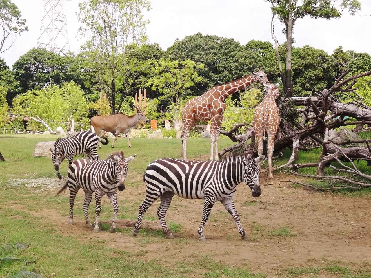 画像: アフリカのサバンナゾーン 提供:よこはま動物園ズーラシア