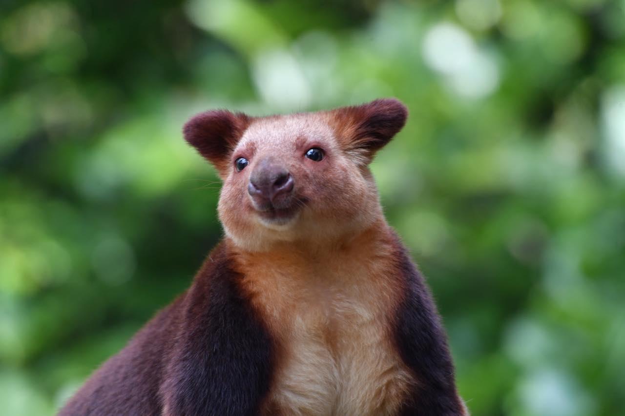 画像: セスジキノボリカンガルー(オス) 提供:よこはま動物園ズーラシア