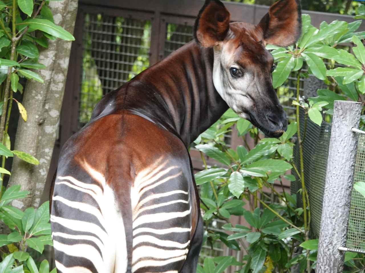 画像: オカピ(メス) 提供:よこはま動物園ズーラシア