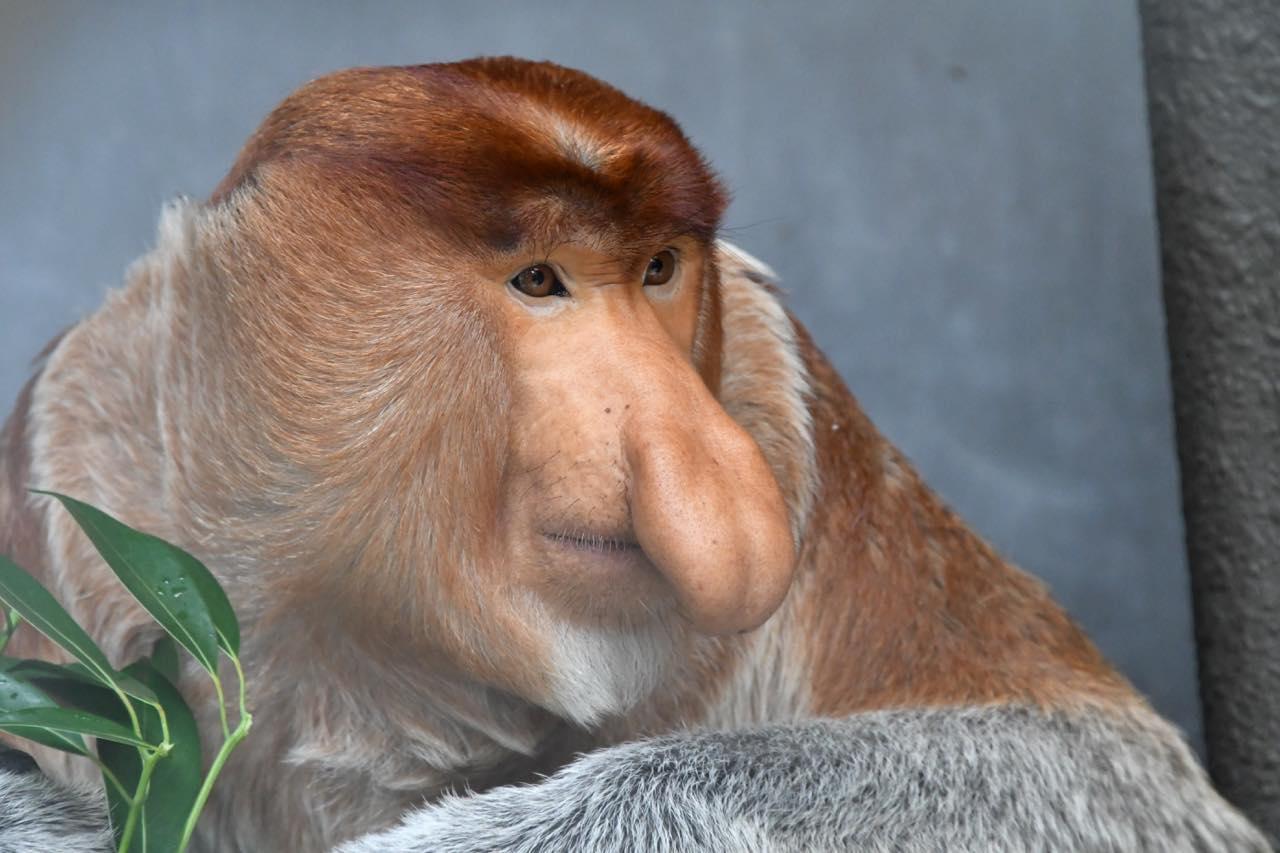 画像: テングザル(オス) 提供:よこはま動物園ズーラシア