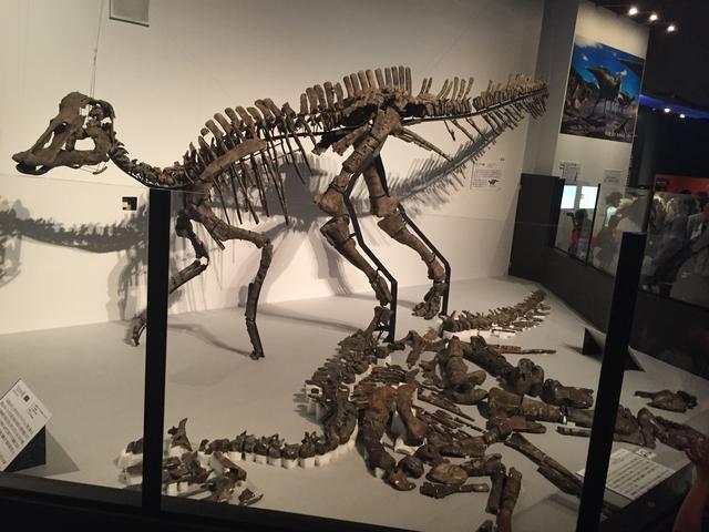 画像: 「むかわ竜」だった頃の、組み立てられているのがレプリカ。地面に置かれているのが実物化石。カムイサウルスになるとトサカが付いた復元になります。