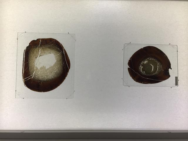 画像: 大腿骨の薄片と脛骨の薄片