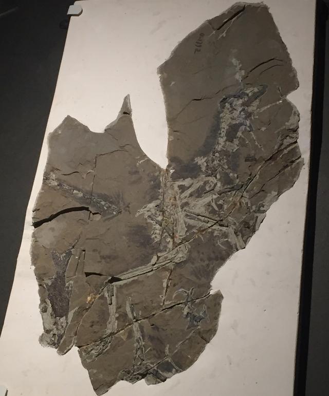 画像1: 奇跡のアンキオルニスの化石は、意味を知るほどに面白い