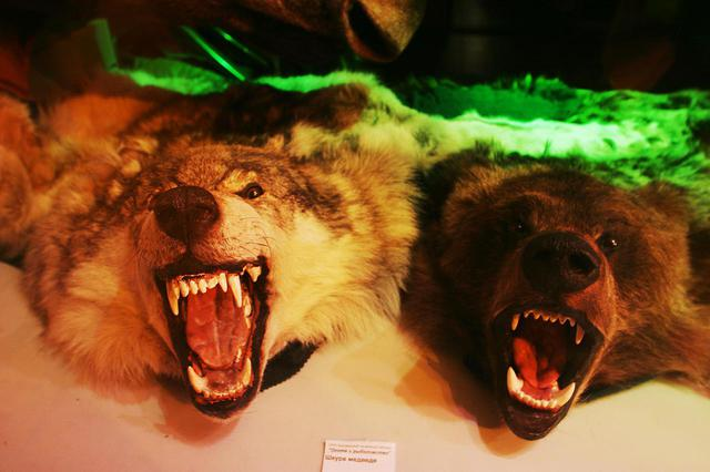 画像: 夜、市内を散歩していて発見した野生動物の剥製品。狼と熊だろうか。ロシア人の好みなのか生々しい表情で、ショーウインドウ越しにサンクトペテルブルクの街中を威嚇して睨んでいた。