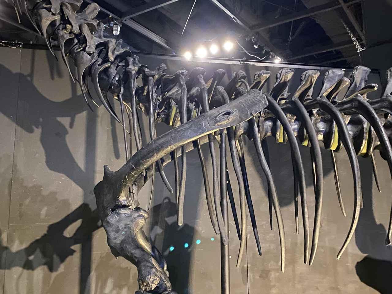 画像: ステゴサウルスのスパイクが刺さったであろうアロサウルスの傷