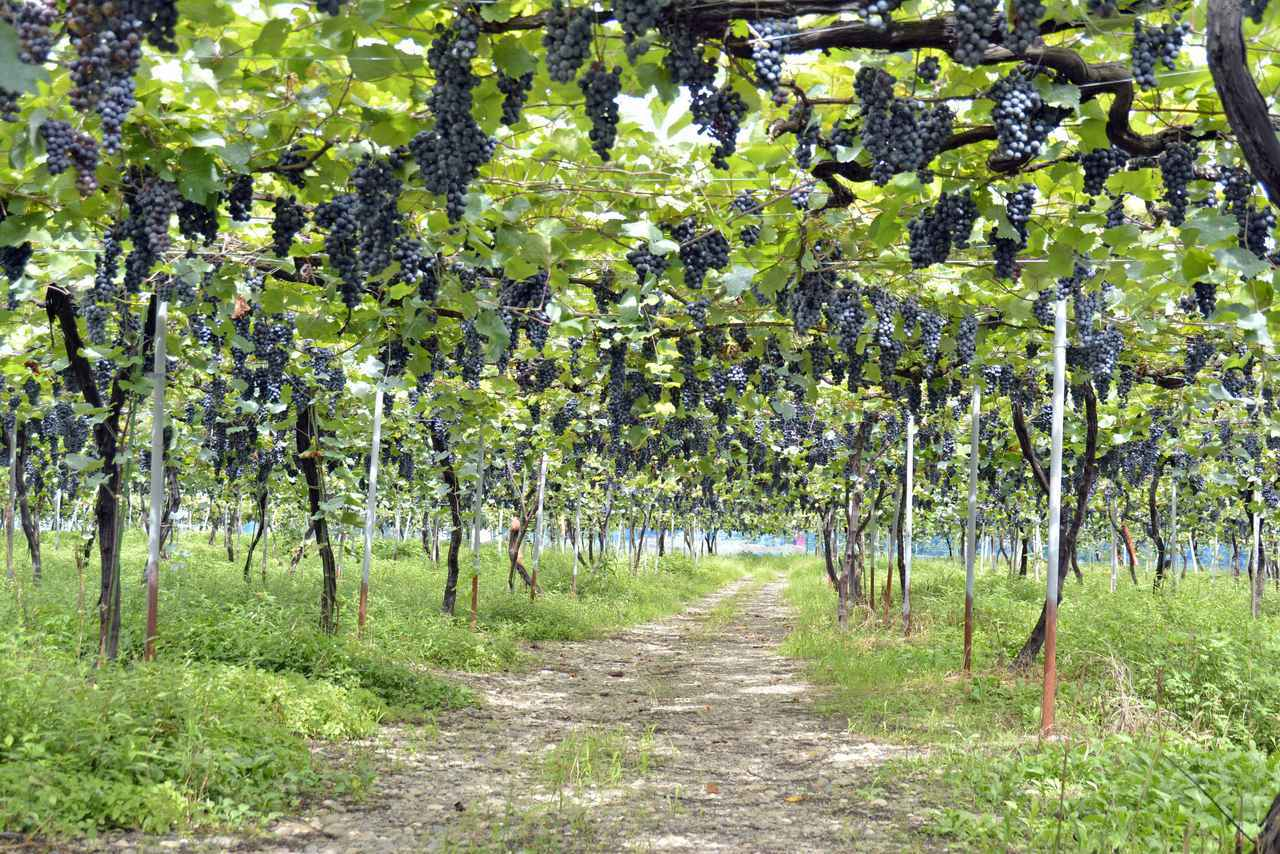 画像: マスカット・ベーリーAの畑