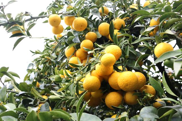画像1: 神奈川県が12年かけて開発した新感覚オレンジ「湘南ゴールド」