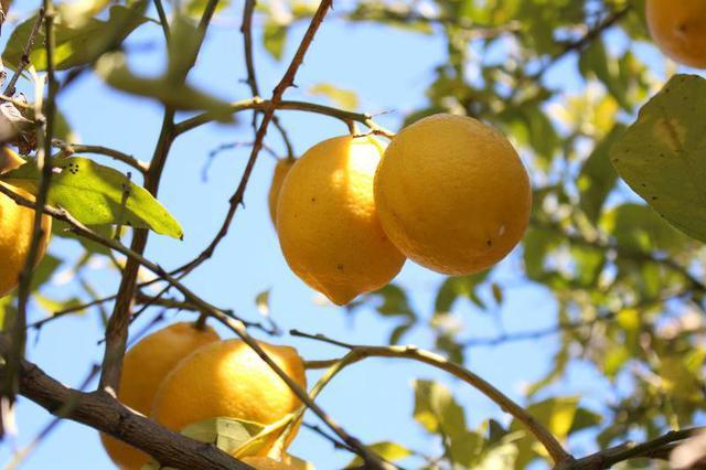 画像: 泉北レモンの実
