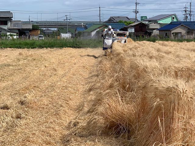 画像: 麦刈の様子