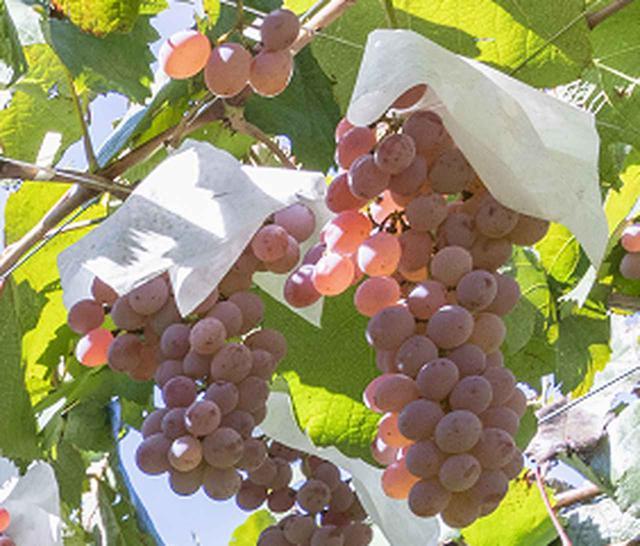 画像: 甲州は薄い紫色をしているので、きれいなオレンジワインに仕上がる