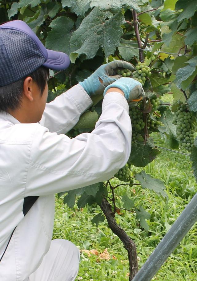 画像: ワイン造り手と収穫体験