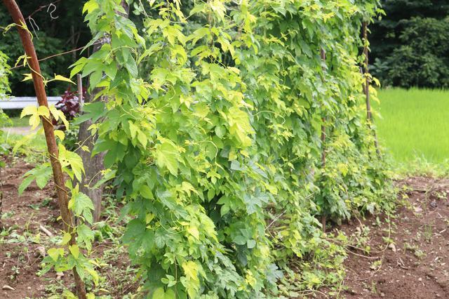 画像: ▲生育途中で葉が黄金色になる「かいこがね」