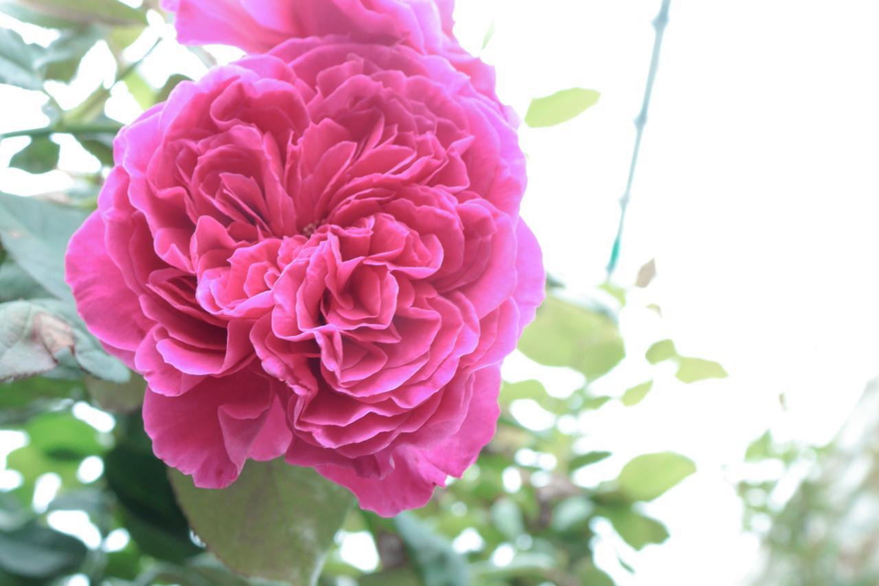 画像1: ROSE LABOが栽培した農薬不使用の食用バラ「イヴピアッチェ」