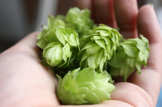 画像3: 通常の約2.5倍~7倍のホップを使用。アルコール度数10%の長期熟成ビール