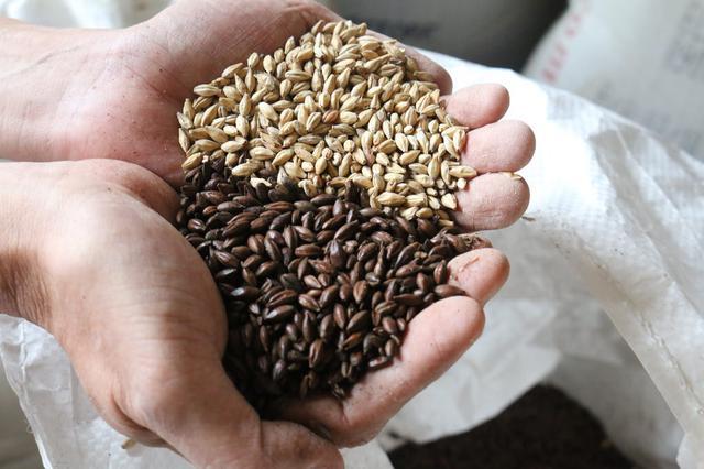 画像: チョコレートビールに使うチョコレート麦芽(手前)と通常のビールに使うベース麦芽(奥)