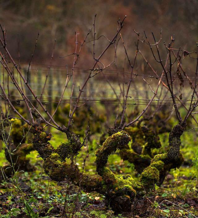 画像: ドメーヌ・ド・ヴィレーヌが所有するアリゴテの畑について話してください。