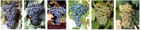 画像: ボルドーワイン、新品種6種の正式承認取得、2021年から導入