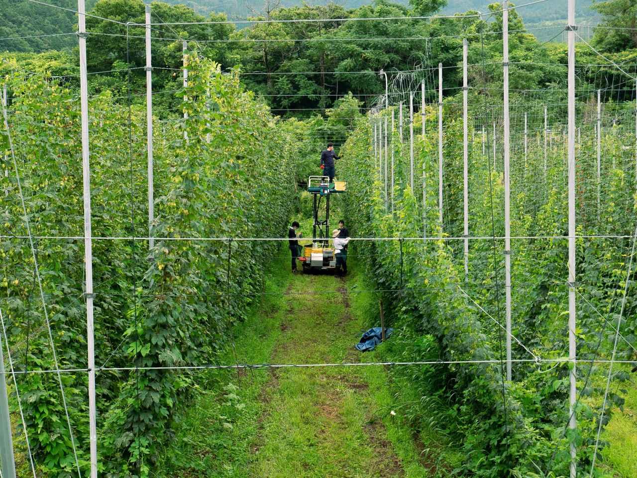 画像: 与謝野町で栽培するホップ(画像はクラウドファンディングのプロジェクトから)