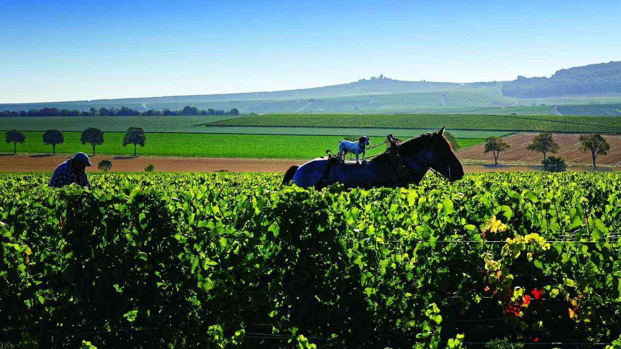 画像: 塀(クロ)に囲まれた、シャンパーニュエリアでも珍しい畑「クロ・デュ・ムーラン」。1950年から2.2ヘクタールを所有し、ピノ・ノワールとシャルドネを栽培している。現在でも伝統的な馬耕を行っている