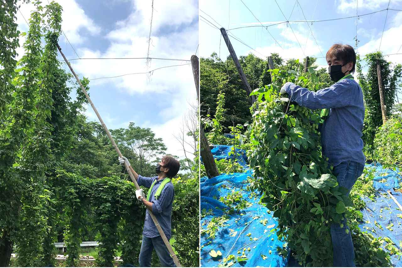 画像: サンクトガーレン代表取締役の岩本氏がホップを収穫する様子