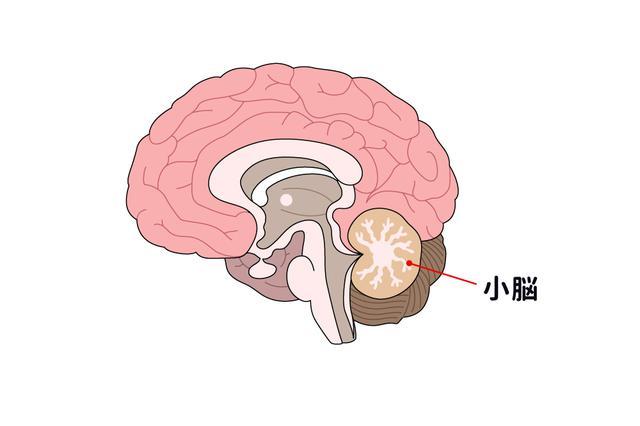 画像: トレーニングで鍛えるのは「小脳」