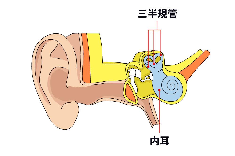 画像: 青白色をしているカタツムリのような形の器官が「内耳」(図-右部分)。三半規管(3つの半規管のこと)があり、頭や体の動きを感じ取る働きをしている。