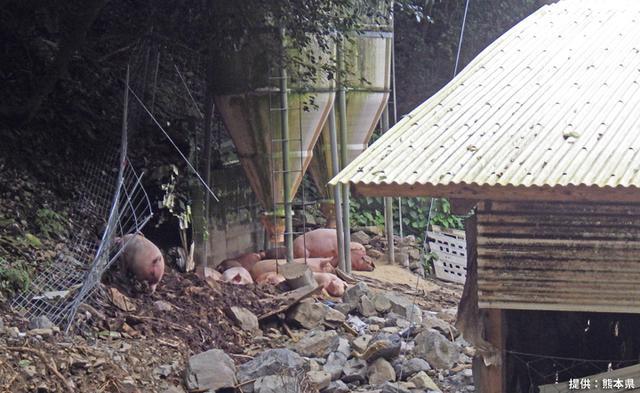 画像1: ヘリで孤立した希少種豚を救出|陸上自衛隊
