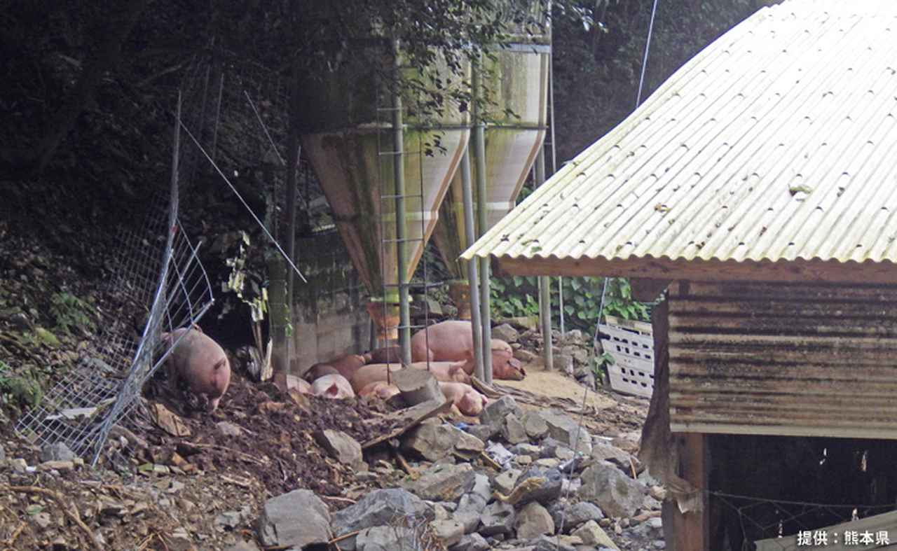 画像1: ヘリで孤立した希少種豚を救出 陸上自衛隊