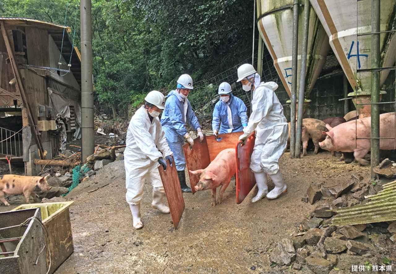 画像4: ヘリで孤立した希少種豚を救出 陸上自衛隊