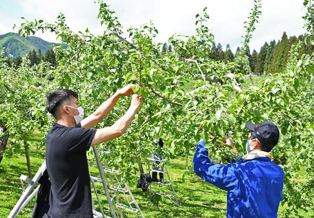 画像1: 伝統の花摘み作業 りんご園で援農ボランティア|弘前駐屯地