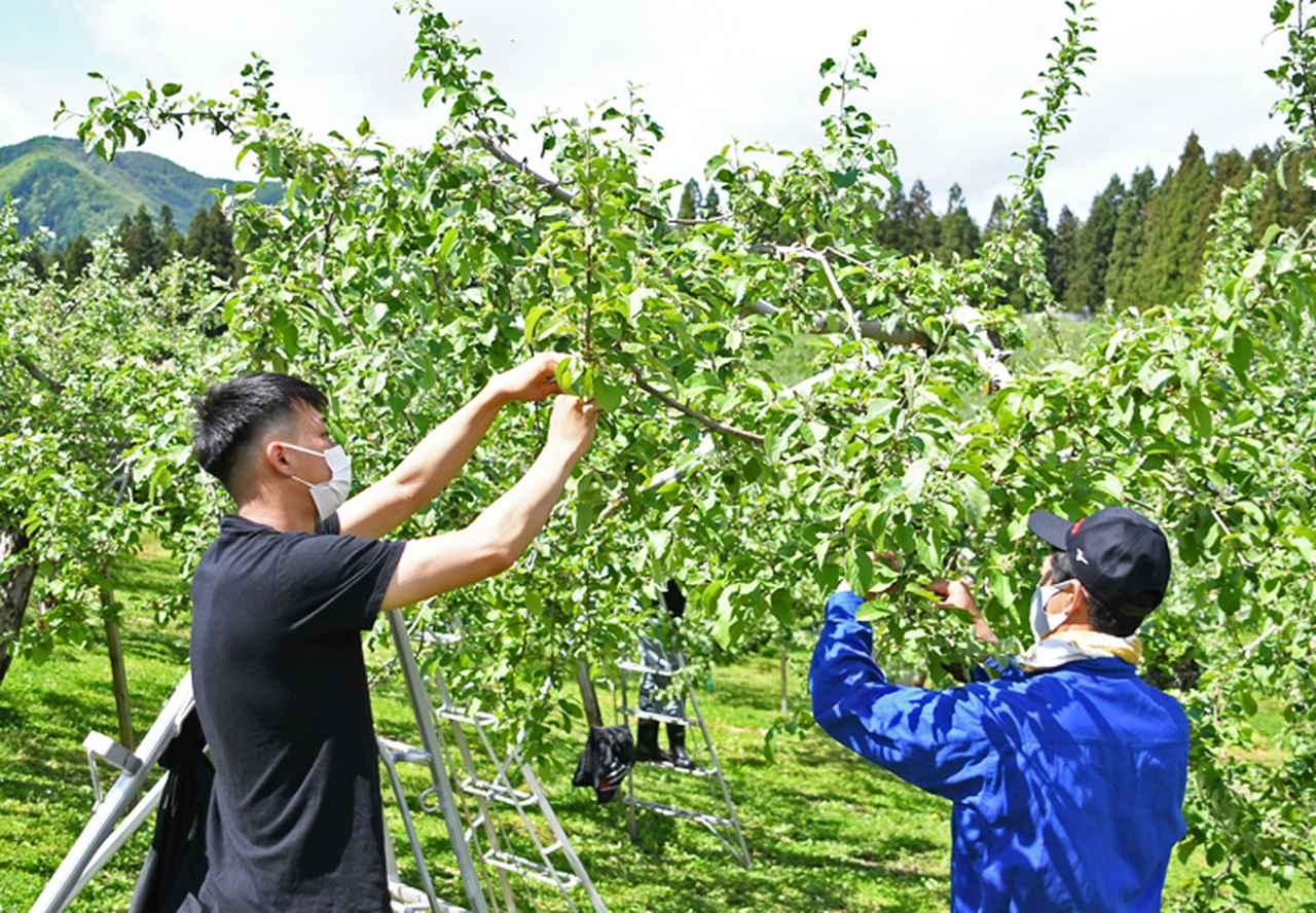 画像1: 伝統の花摘み作業 りんご園で援農ボランティア 弘前駐屯地