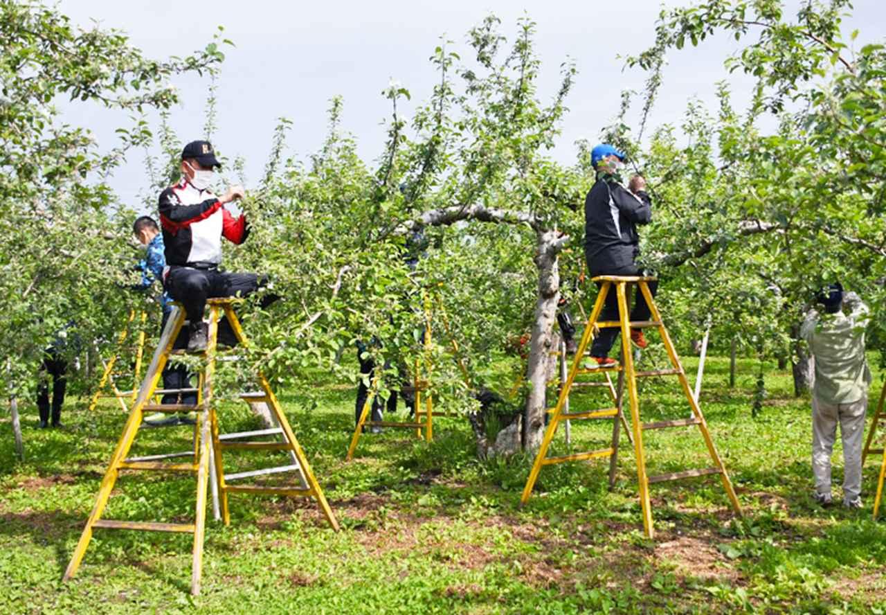 画像2: 伝統の花摘み作業 りんご園で援農ボランティア 弘前駐屯地