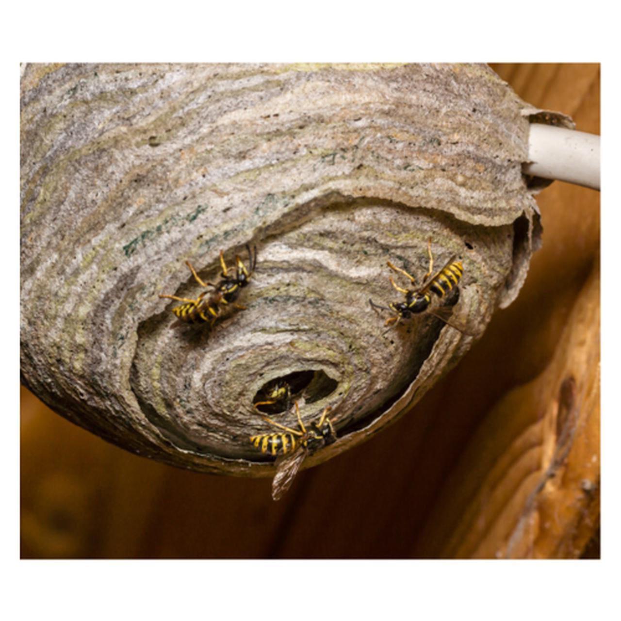 画像1: 【防犯コラム】アウトドア派は必見‼︎ スズメバチを知る‼︎