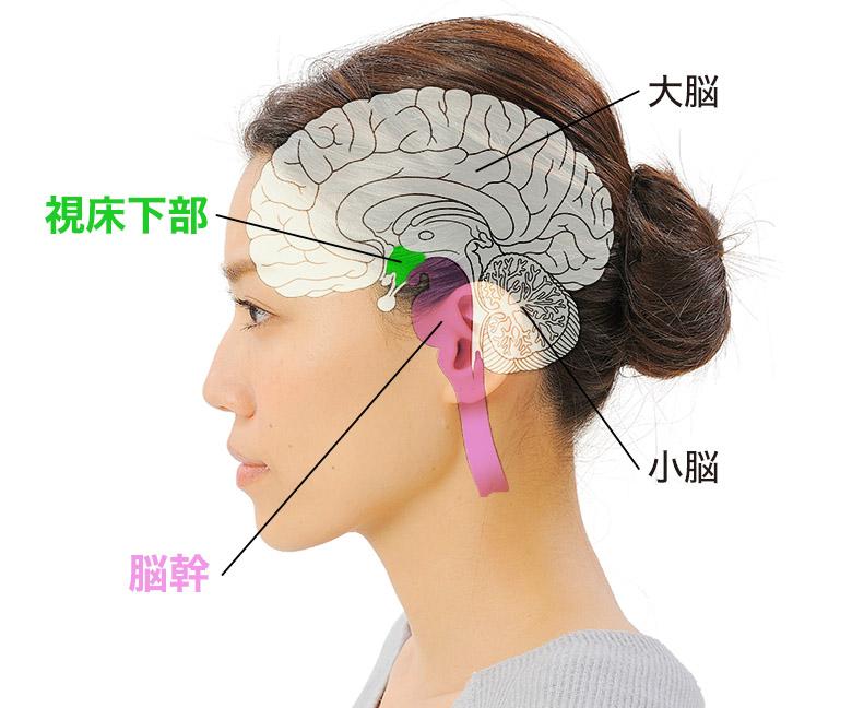 画像: 脳の視床下部 自律神経系の統合中枢として働く。代謝機能、体温調節機能、心臓血管機能、内分泌機能、性機能などを調節。