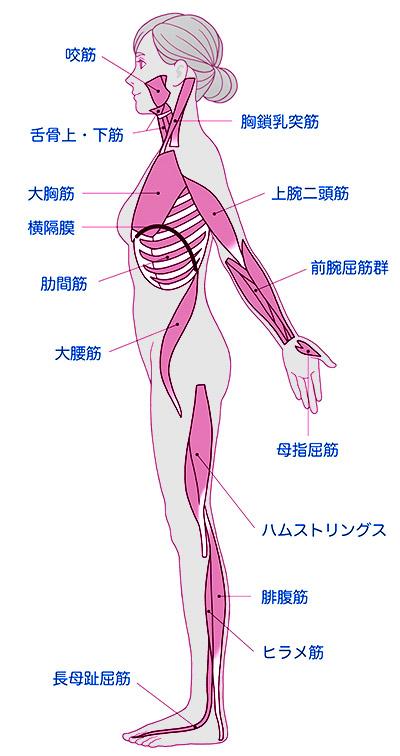 画像: 全身の屈筋のライン 屈筋は耳の周辺から始まり上半身は前側、下半身は後側をつないでいる