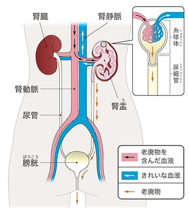 画像: 腎臓の構造の模式図