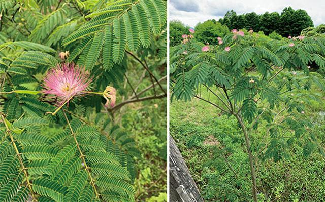 画像: ネムノキの花(左)と樹木(右)