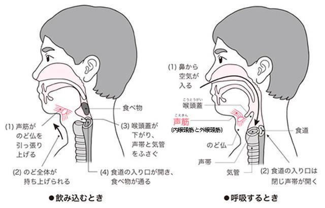 画像: 声帯が閉じると肺が膨らみ上体が安定