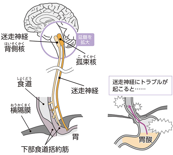 画像: 迷走神経は下部食道括約筋や胃の働きを調整している。
