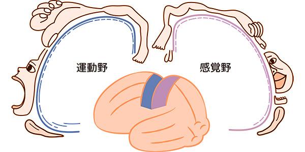 画像: ホムンクルス図。歯や舌を含む口の脳への影響の大きさがわかる。