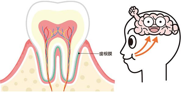 画像: かむと歯根膜の働きで脳に血液が送られ、脳が活性化する。