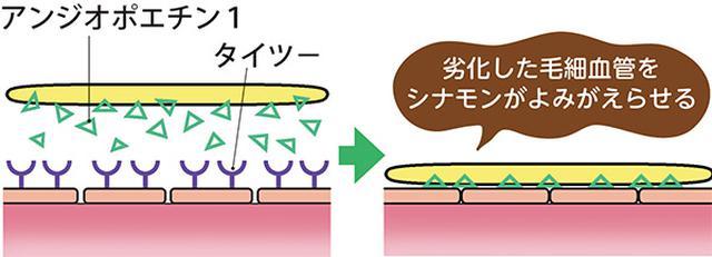 画像: シナモンをとるとタイツーが活性化し、内皮細胞同士の接着が強固になり、壁細胞も内皮細胞に密着して、毛細血管が復活する。
