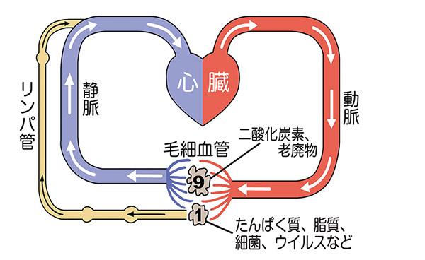 画像: 血管に取り込まれない物質がリンパ管に吸収される。