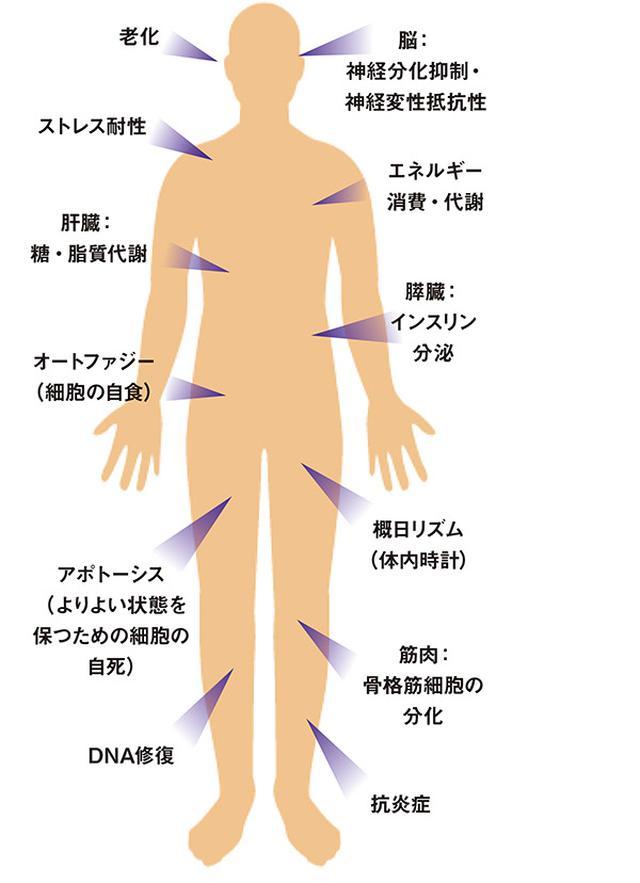 画像: サーチュイン遺伝子が調節する生体機能