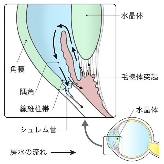 画像: 房水は線維柱帯を通って排出される。