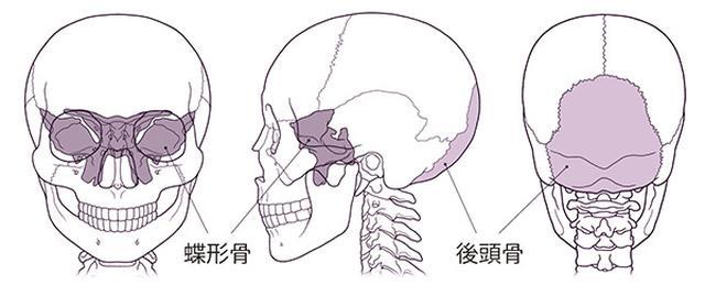 画像: 視神経に関わる頭部の骨
